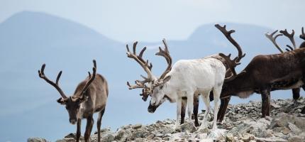 Slik skal villreinen i Nordfjella fjernast