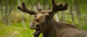 Ber om at bestanden av elg, hjort og rådyr også blir redusert