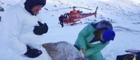 Meir GPS merking av rein i Nordfjellaområdet